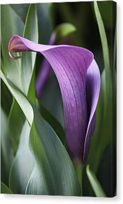 Canvas Print featuring the photograph Calla Lily In Purple Ombre by Rona Black