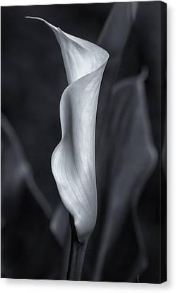Calla Lily Canvas Print - Calla Lily No. 2 - Bw by Belinda Greb