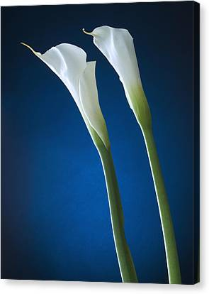 Calla Lily On Blue Canvas Print