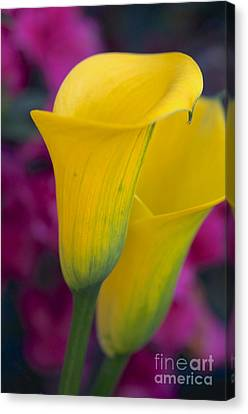 Calla Lily - Yellow Canvas Print