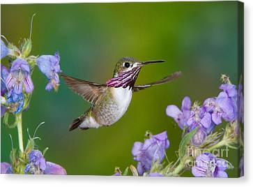 Calliope Hummingbird Canvas Print by Anthony Mercieca