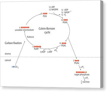 Calvin-benson Metabolic Cycle Canvas Print