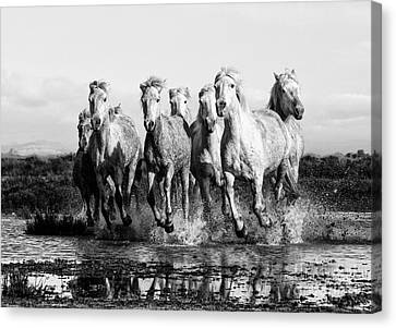 Camargue Horses At The Gallop Bw Canvas Print