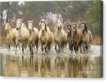Camargue Horses At The Gallop Canvas Print