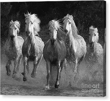 Camargue Horses Running Canvas Print by Carol Walker