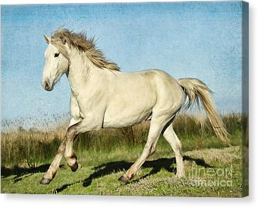 Camargue Stallion Canvas Print