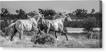 Camargue Stallions Canvas Print by Heather Swan