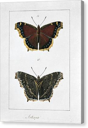 Camberwell Beauty Butterfly, Artwork Canvas Print by Science Photo Library