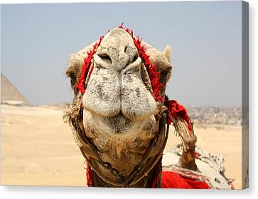Camel Kiss Canvas Print by Laura Hiesinger