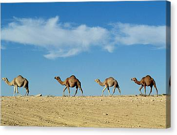 Camel Canvas Print - Camel Train by Anonymous