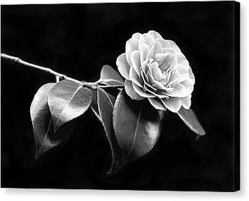 Camellia Flower In Black And White Canvas Print by Jennie Marie Schell