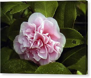 Canvas Print featuring the photograph Camellia In Rain by Patrick Morgan