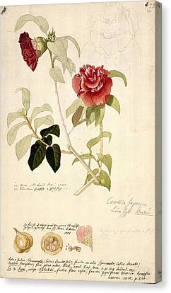 Camellia Japonica, 18th Century Artwork Canvas Print by Science Photo Library