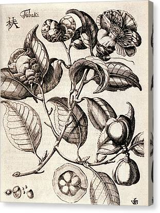 Camellia Japonica Flowers Canvas Print by Natural History Museum, London
