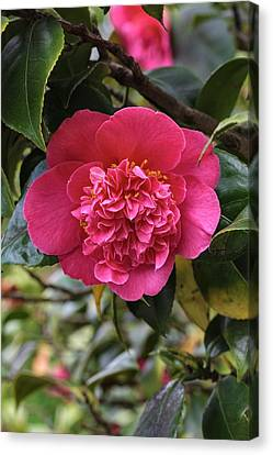 Camellia Canvas Print - Camellia Japonica Mrs Swan by Geoff Kidd