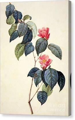 Camellia Japonica Canvas Print by Pierre Joseph Redoute
