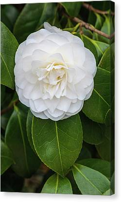 Camellia Canvas Print - Camellia Japonica 'primavera' by Geoff Kidd