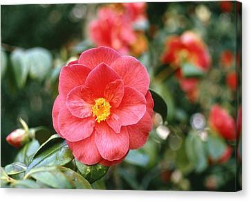 Camellia Japonica Canvas Print by Science Photo Library