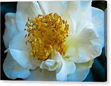 Camellia Canvas Print by Julie Andel