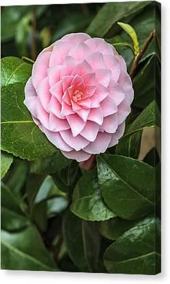 Camellia Canvas Print - Camellia Rusticana 'otome' by Geoff Kidd