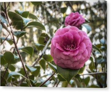 Camellia Sparkle Canvas Print by Loree Johnson
