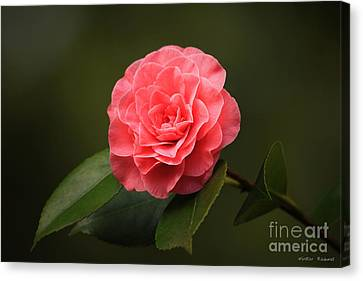 Camellia Canvas Print by Winston Rockwell