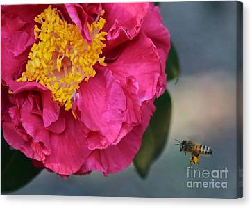 Camellia With Bee Canvas Print by Carol Groenen