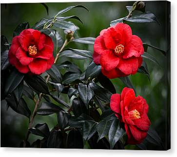 Camellias Canvas Print by Zina Stromberg