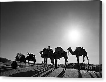 Camel Canvas Print - Camels by Delphimages Photo Creations