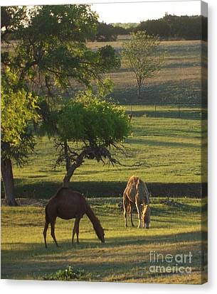 Camels Grazing Canvas Print by Susan Williams
