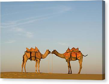 Camel Canvas Print - Camels Stand Face To Face In The Thar by Steve Winter