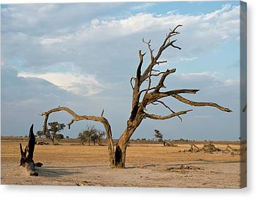 Camelthorn Tree In The Nossob Riverbed Canvas Print