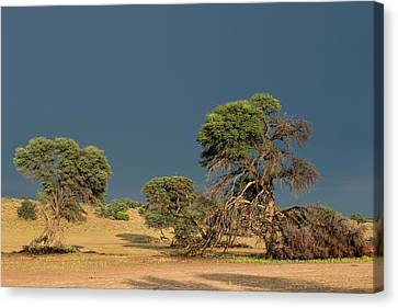 Camelthorn Trees In The Auob Riverbed Canvas Print by Tony Camacho