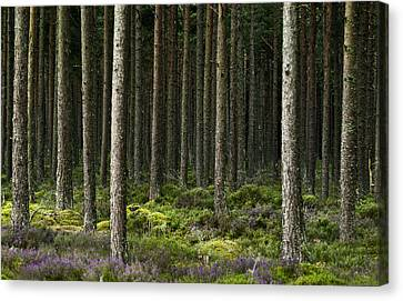 Canvas Print featuring the photograph Camore Wood Scotland by Sally Ross