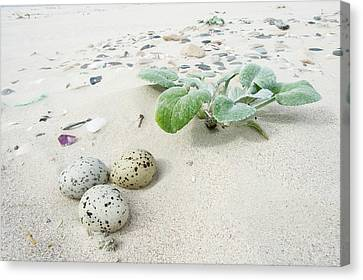 Camouflaged Caspian Tern Nest Canvas Print by Peter Chadwick