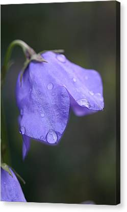 Campanula After The Rain Canvas Print by Mark Severn