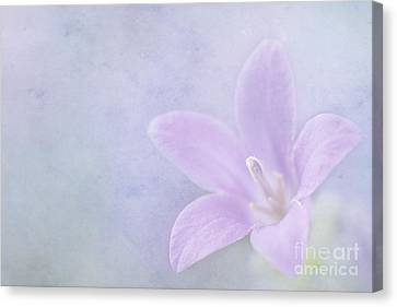 Campanula Portenschlagiana Canvas Print by John Edwards
