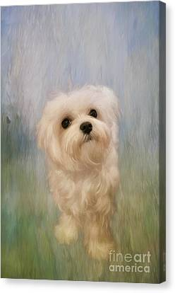 Maltese Canvas Print - Can We Play Now by Lois Bryan