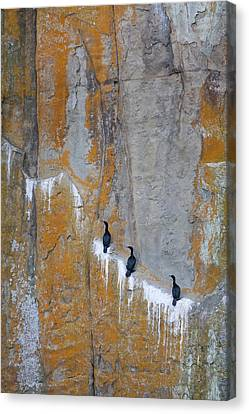 Phalacrocorax Auritus Canvas Print - Canada, British Columbia, Gabriola by Jaynes Gallery