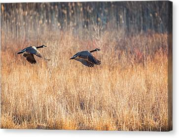 Geese Canvas Print - Canada Geese by Bill Wakeley