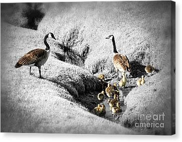 Canada Geese Family Canvas Print by Elena Elisseeva