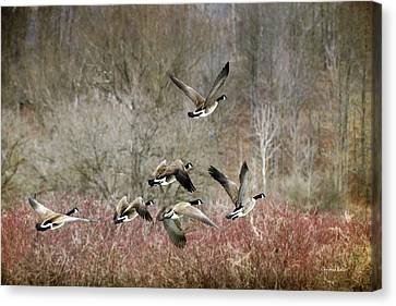 Canada Geese In Flight Canvas Print by Christina Rollo