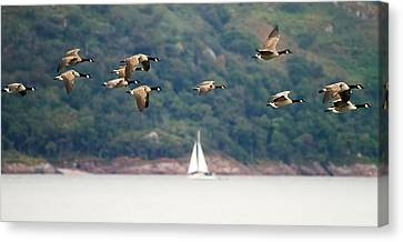 Canada Geese In Flight Mull Scotland Canvas Print by Mr Bennett Kent