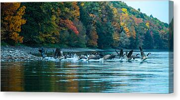 Canada Geese Taking Flight Canvas Print by Steve Clough