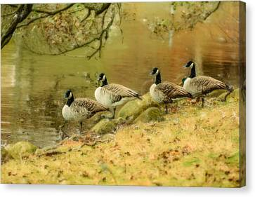 Canada Geese Canvas Print by Tommytechno Sweden
