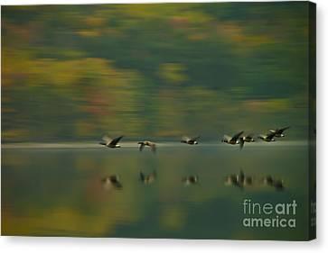 Canada Geese Whoosh Canvas Print by Steve Clough