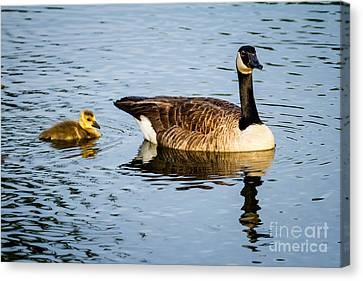 Canada Goose And Gosling Canvas Print by Dawna  Moore Photography