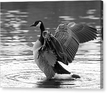 Canada Goose Black And White Canvas Print