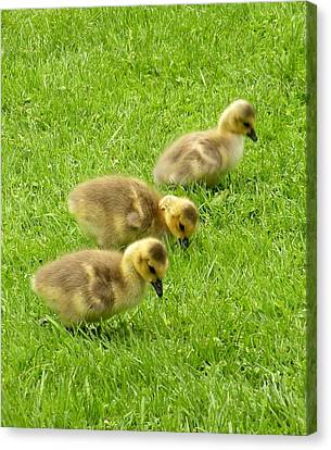Canada Goose Goslings Canvas Print