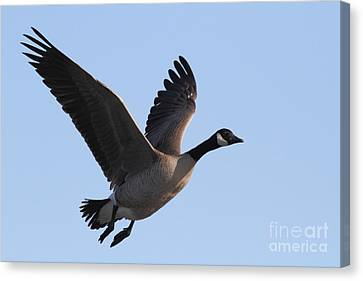 Canada Goose In Flight 7d21955 Canvas Print by Wingsdomain Art and Photography